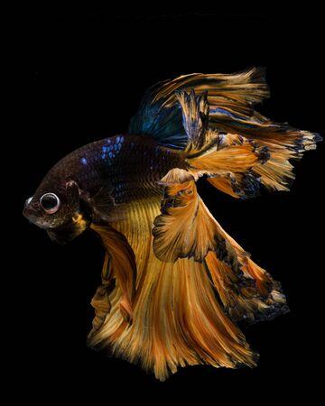 Beautiful betta fish (half-moon long-tail or Fullmoon betta ) isolated on black background, popular aquarium fish, Siamese fighting fish spreading fin and tail, Thai aquatic national animals