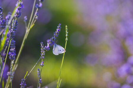 Butterfly in lavander flowers