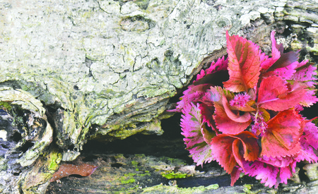 Pink ornamental plants in decayed wood.