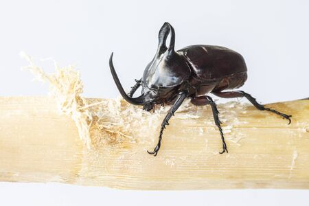 Eupatorus birmanicus rabbit beetle eating can isolated