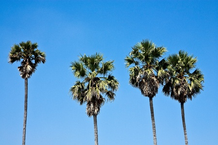 Sugar palm on blue sky background photo