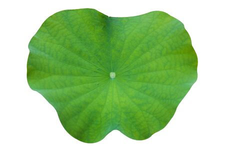 lotus leaf isolated on white background photo