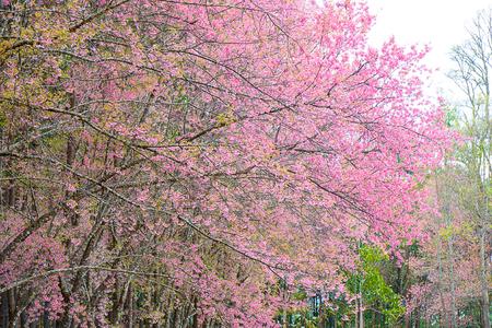 Prunus cerasoides or Wild Himalayan Cherry. Flowering plants in the genus Prunus flowering from January to February.