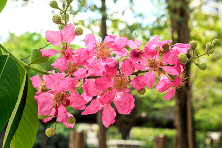 Tabebuia rosea or Pink trumpet tree a plant in the family Bignoniaceae. Originated from Central America, South America.