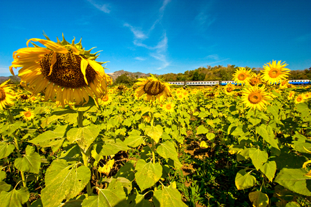 Sunflower with train at Pa Sak Jolasid Dam , Lop Buri province Thailand. Reklamní fotografie