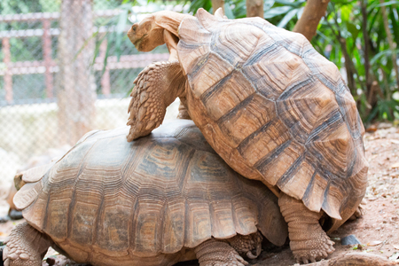 Two turtles are breeding in Khao Din Zoo , Bangkok Thailand.