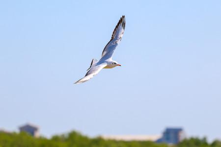 Close up seagull flying in the sky on the sea, Bangpoo, Samutprakarn, Thailand. Фото со стока