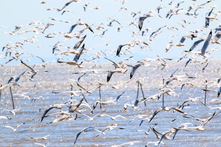 A flock of bird , seagull flying in the sky on the sea, Bangpoo, Samutprakarn, Thailand.