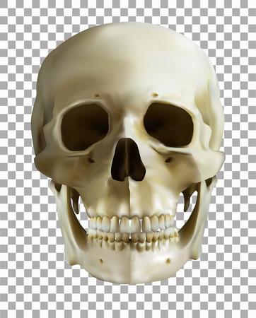 Human skull on transparent background.