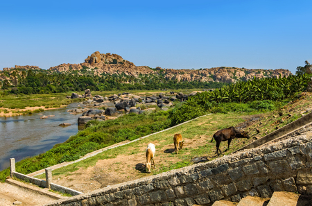 karnataka: Cows grazing on the Hampis river bank, India Stock Photo