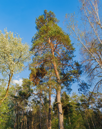 admire: Tall old trees i mixed deciduous-coniferous forest with birch, pine, blooming lilacs in the foreground, Irpen, Ukraine. The edge of the forest in the evening sun. Stock Photo