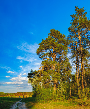 Tall old trees i mixed deciduous-coniferous forest with birch, pine, blooming lilacs in the foreground, Irpen, Ukraine. The edge of the spring forest in the evening sun. Young couple admiring nature Stock Photo