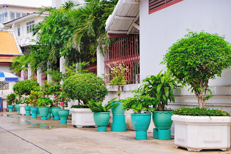 Tree of the family Ficus grown in clay pots on Thai street in Bangkok, Thailand. In the eastern tradition Ficus trees are classic elements of interior and landscape design. Selective focus