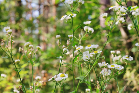 Blooming white flowers of Matricaria chamomilla, wild chamomile in the meadow of woods at evening lighting. Scented mayweed in bloom with a blurred background. Stock Photo