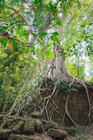 A large tree trunk of great banyan tree growing on the wall of the Preah Khan Temple in Angkor Complex, Siem Reap, Cambodia. Ancient Khmer architecture, famous Cambodian landmark,