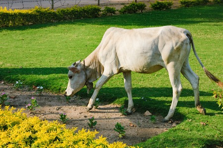 Indian holy white cow is eating grass on the lawn near the ruins of ancient temple in Hampi, Hampi, Karnataka, India. Cow is sacred animal in India
