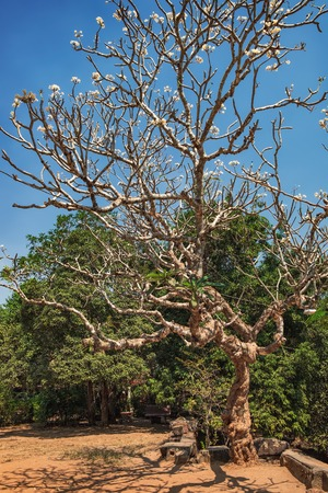 A lonely old tree grows next to Theravada Buddhist monastery in Cambodia. On the bare branches appeared the first flowers with flowering
