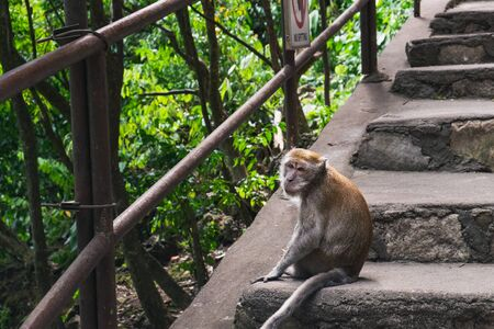 Grey monkey is sitting on stone slabs and waiting for feeding at the entrance to the Batu Caves, Malaysia.