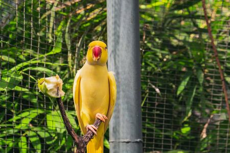 A yellow parrot sits with red beak on a branch in the park and eats an apple. The parrot is looking at the camera. Stock Photo
