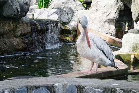 Grey pelican or Pelecanus philippensis cleaning the feathers near pond Stock Photo