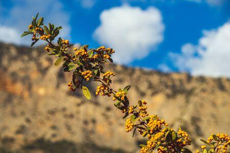 Branch of orange sea buckthorn berries under blue cloudy sky Stock Photo