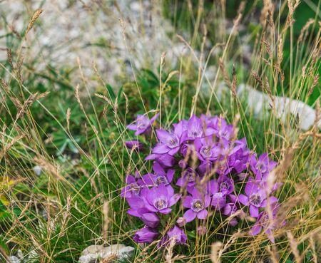 Purple flowers of the Gentianella germanica grow in Dachstein Mountains, Salzkammergut region, Upper Austria, Austria