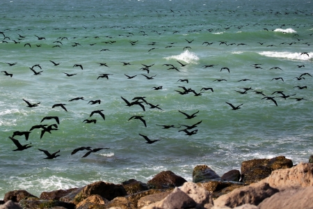 cormorants: Flight of cormorants, Persian Gulf, UAE