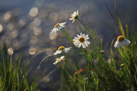 matricaria recutita: Camomiles su sfondo di acqua sunshiny Archivio Fotografico