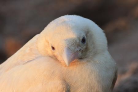 singular: Portrait of white crow in the wild