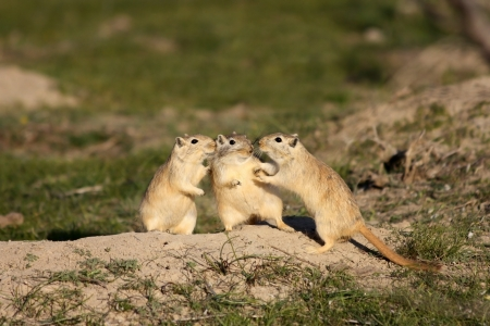 burrow: Great gerbils near a burrow in the steppe