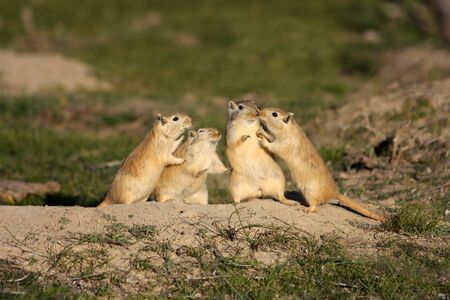 four of a kind: Funny rodents stand in the steppe