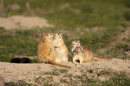 4 of a kind: Romantic courting of great gerbils in steppe Stock Photo