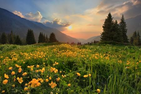 Claro de botones de oro en la puesta del sol en las montañas de Tien-Shan, Kazajstán