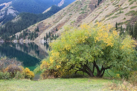 Autumn tree on the coast of the mountain lake Kolsai, Kazakhstan photo