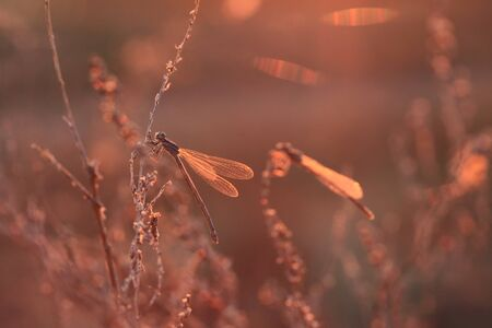 Dragonfly sits on a stalk in sunset light photo