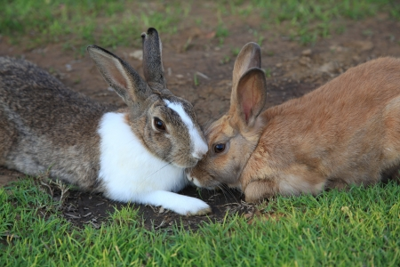 amity: Two rabbits lie together on a green grass Stock Photo