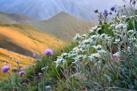 kazakhstan: Edelweiss and other flowers in an alpine slope, sunset mountains Tien-Shan, Kazakhstan