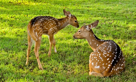 human being: Ever seen natural life so close enough? this image could give explaination of a natural life of deer family. The love that the baby deer give to his mother, life us as human being.
