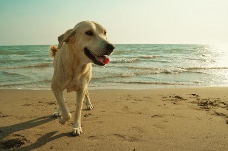 Gelber Hund am Strand Standard-Bild - 33994543