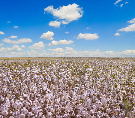 Cotton fields Stock Photo