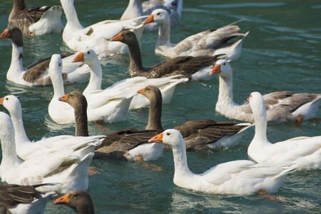 arched neck: Flock of Goose Stock Photo