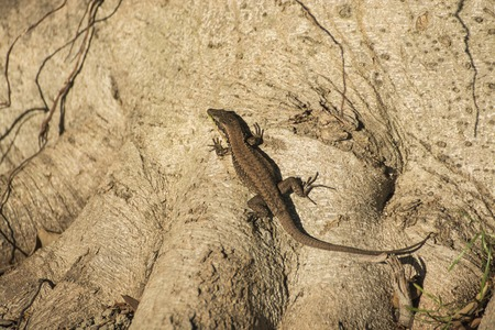 little lizard on a root of tree photo