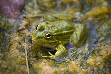 nymphaea odorata: Green Frog in the River Stock Photo