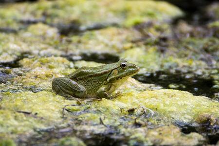 nymphaea odorata: Green Frog on the lake