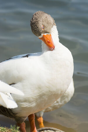arched neck: A white goose