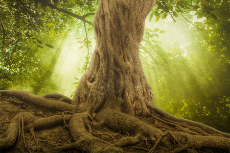 trunks: big tree roots and sunbeam in a green forest Stock Photo