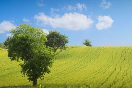 broad leaf: field, big tree, sun and blue sky