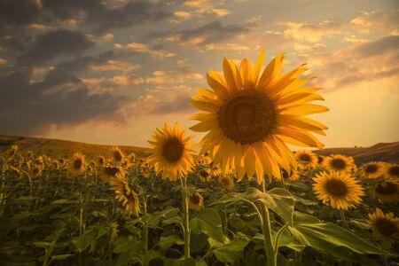 girasol: campo de girasoles florecen en una puesta de sol de fondo Foto de archivo