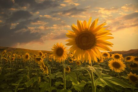 a sunflower: field of blooming sunflowers on a background sunset Stock Photo