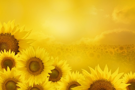 sunflowers: sunflowers in a corner of a square frame isolated on yellow background Stock Photo